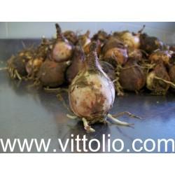 Lampascioni freschi  Kg 4,8 origine italia