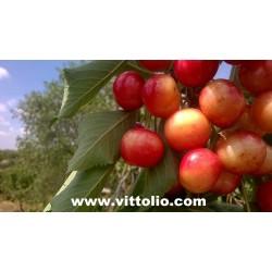 Ciliegie fresche varieta Durone della Marca Kg 4,8 origine Italia